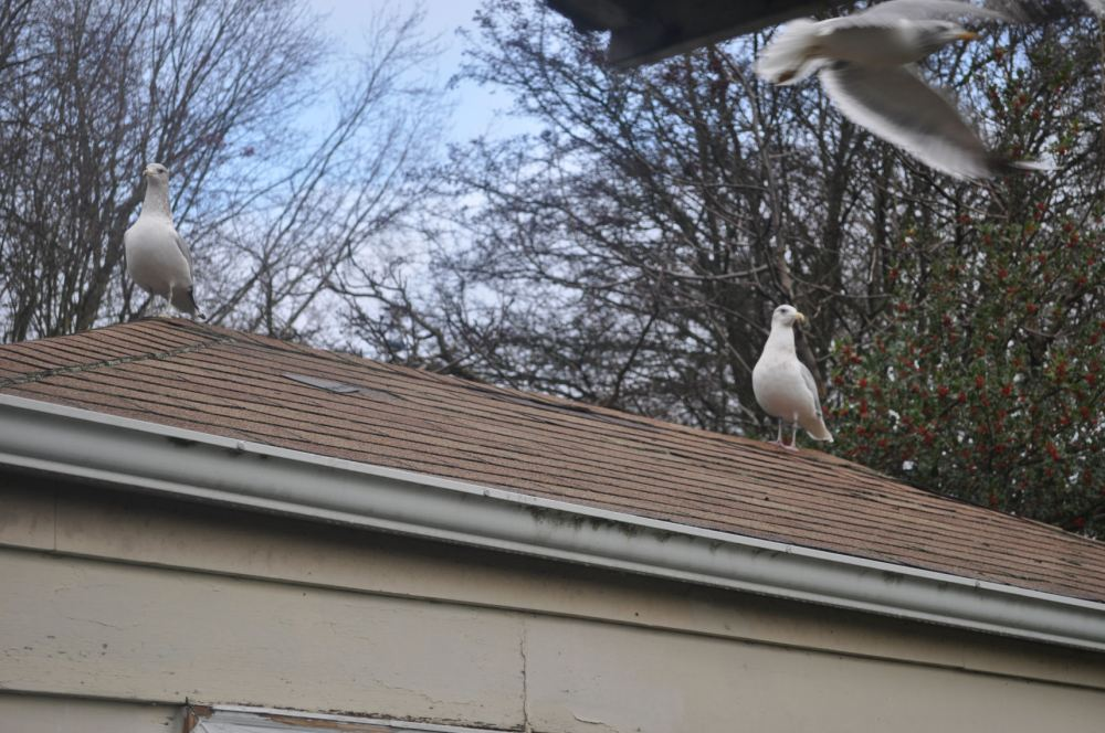 Seagulls perched on the roof of the garage.