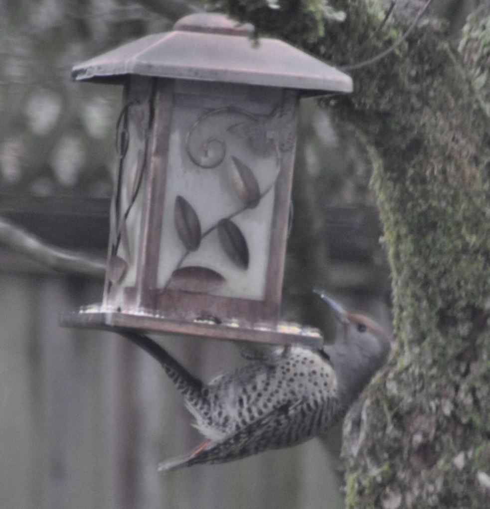 Hanging beneath the feeder.