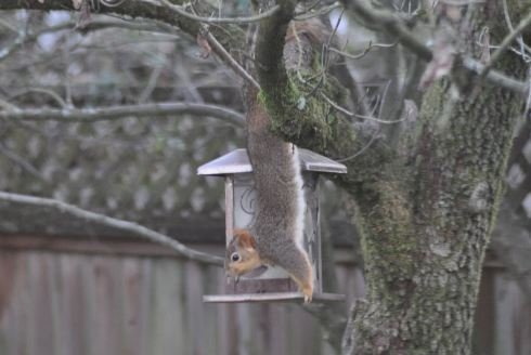 Squirrel doing acrobatics to get at the bird seed in the feeder.