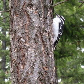 Moma, the woodpecker. She got her name because she brought her young each spring and taught them to find food at Mom's cabin.