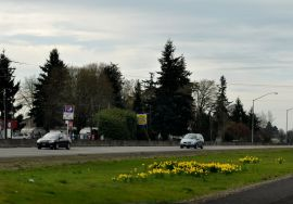 Burst of daffodil yellow in the median strip.