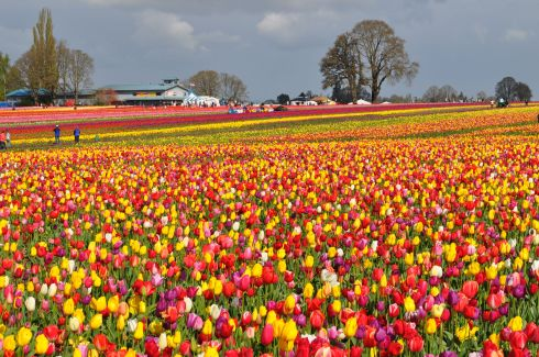 Fields of colors at the Wooden Shoe Tulip Farm