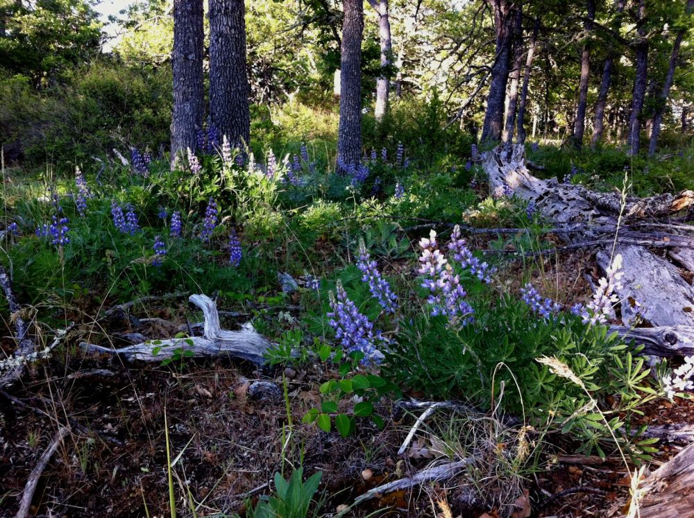 The forest canopy shaded thick stands of lupine