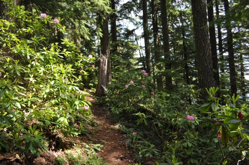 Rhododendrons surrounded me nearly the entire length of the trail.