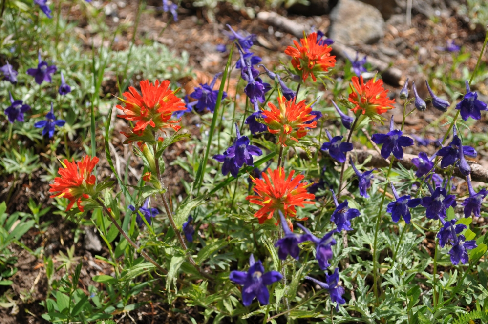 A mess o' indian paintbrush and larkspur