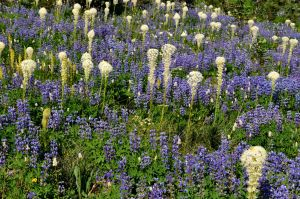 Lupine and Bear Grass