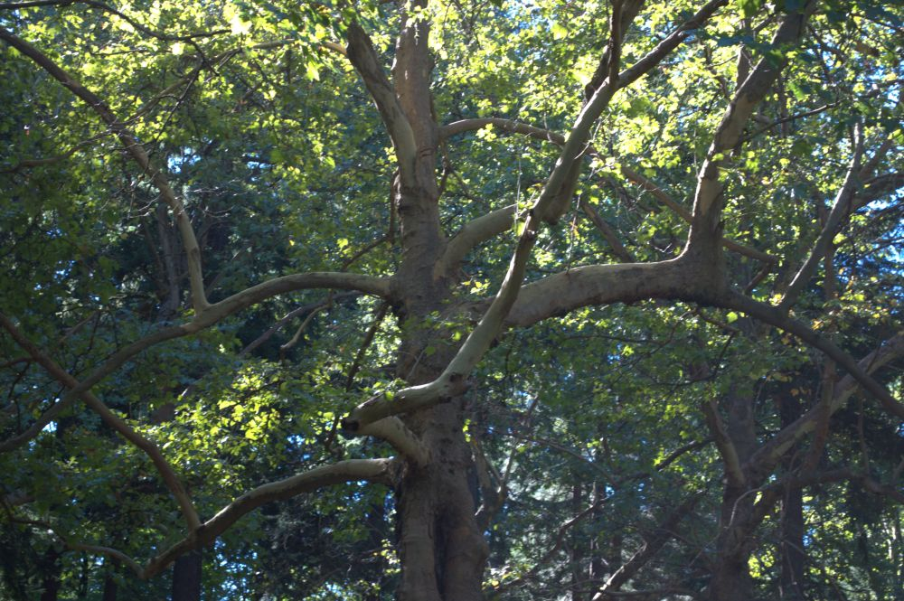 Laurelhurst Park has some truly remarkable trees