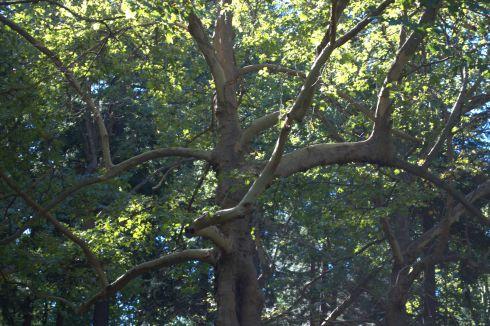 Laurelhurst Park has some truly remarkable trees