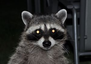 I took this photo of a furry dude in my back yard a couple months ago. Afterward I realized the flash caused the same white ghost eyes as the stencils and stickers. Is there a message in that, as well?