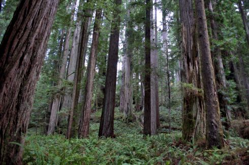 Coast Redwoods soar up above the green forest floor