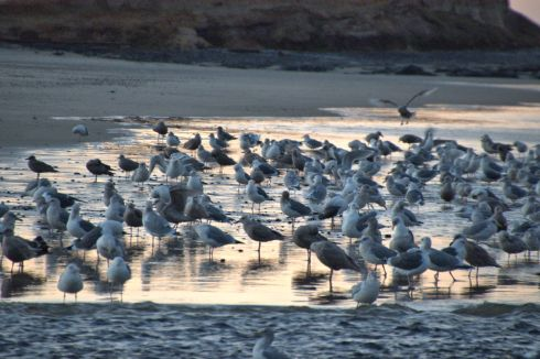 Seagulls stand in water from Tenmile Creek
