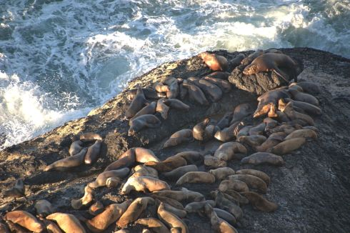 Sea lions crowd the rocks below Highway 101