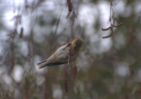 A Lesser Finch finds birch seeds outside my window.