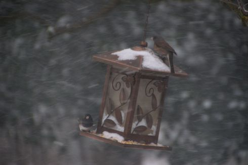 Can't you just feel that nasty cold wind and snow blasting? The juncos kept hiding on the windward side of the feeder, little darlings.