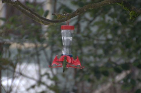 Hummingbird sipping juice from plastic flowers. I haven't decided what kind he is.