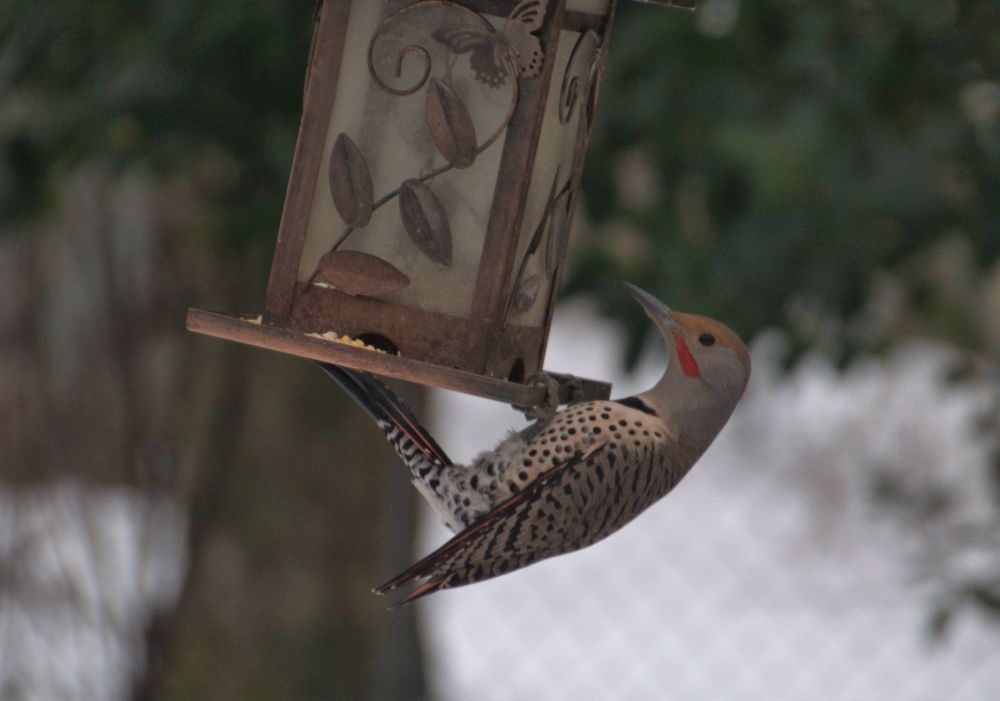 The Northern Flickers take my breath away with their size and beauty.