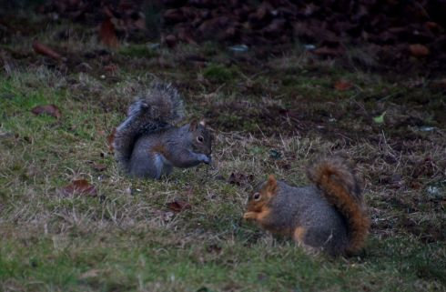 I call them the silver squirrel and the red squirrel. There is no better way to explain it!