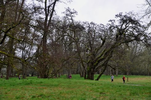 Runners doing laps through the trees for the Champoeg 30k/10k