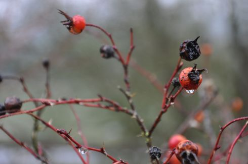 Rose hips in the rain