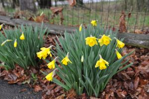 Daffodils are up in central Oregon! They didn't care if it was 37 degrees and raining.