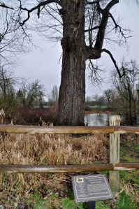 The Nation's Largest Black Cottonwood Tree