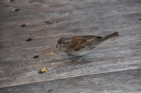 Sparrow munches popcorn. (Clue #4)
