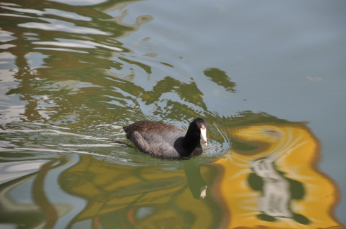 An American Coot glides through the water (clue #3).