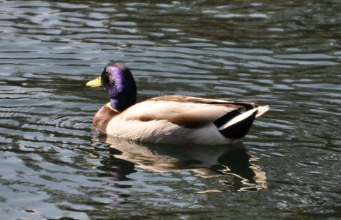 Fabulous blue headed male Mallard duck