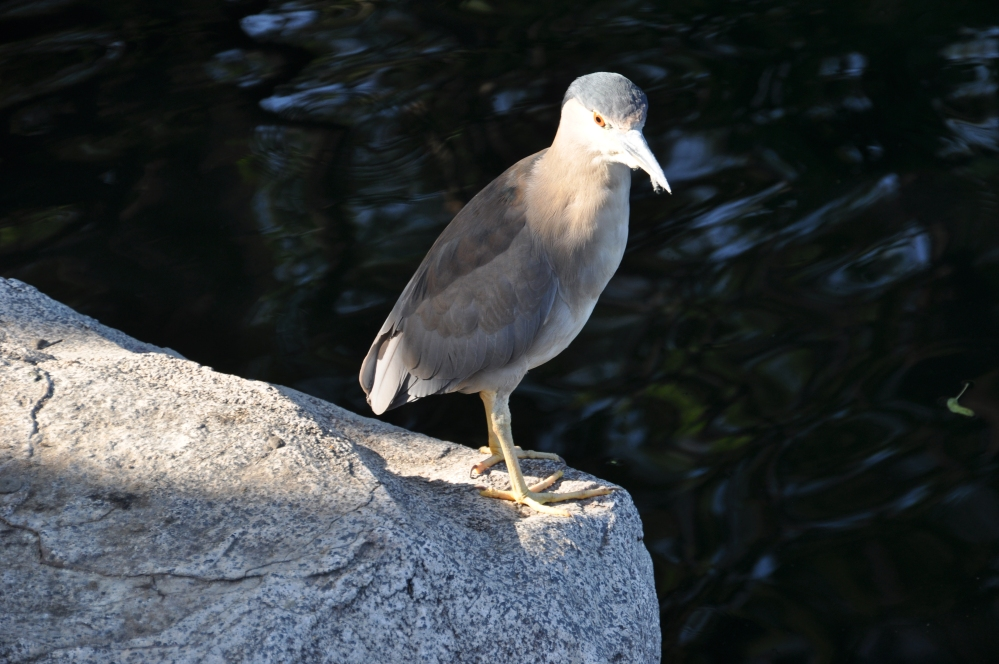 Black Crowned Night Heron, I believe. Isn't this one beautiful?!