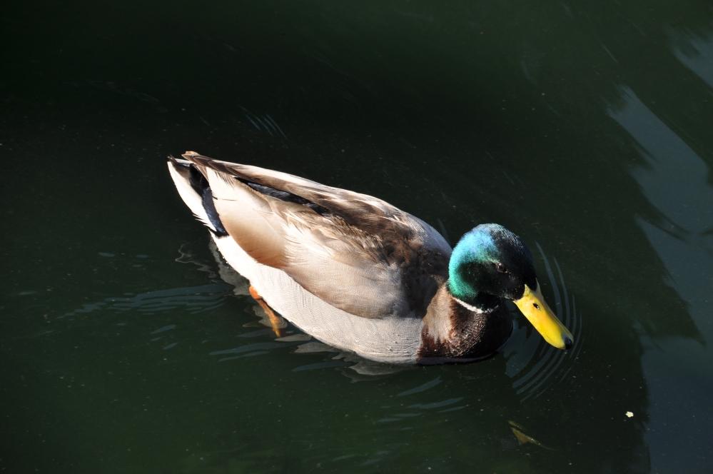 Typical green-headed Mallard duck