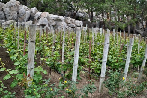 Vineyards? Yes! California is where one finds grapes.