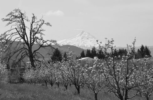 Mt. Hood rises from the Hood River valley, filled with April blossoms.