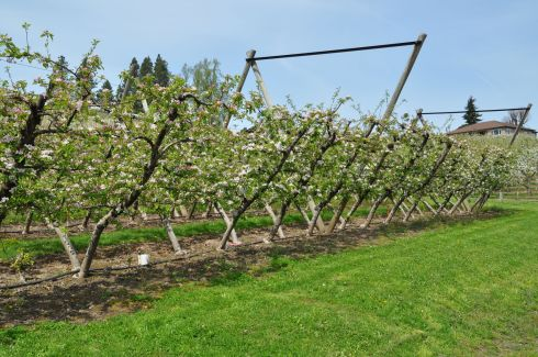 Apple trees grown at an angle. I've never seen this before!