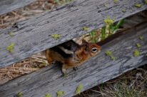 Chipmunk at the Metolius
