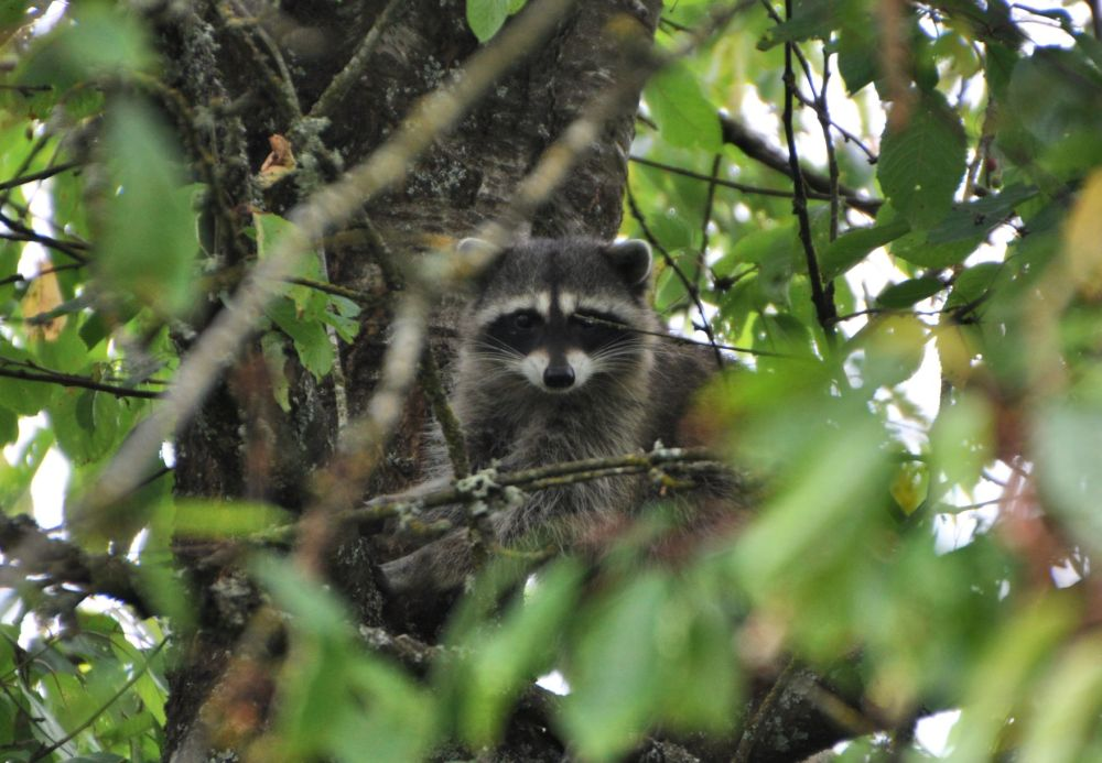 The raccoon is eyeing me warily, wondering whether to continue up for more cherries, or to climb down and escape. I must not look very scary, because she went back to climbing.