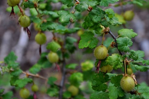 Fat and succulent gooseberries, looking so much like a pie-to-be.