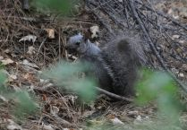Gray squirrel looks at me