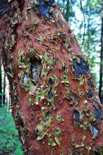 The remarkable bark of a Madrone tree.