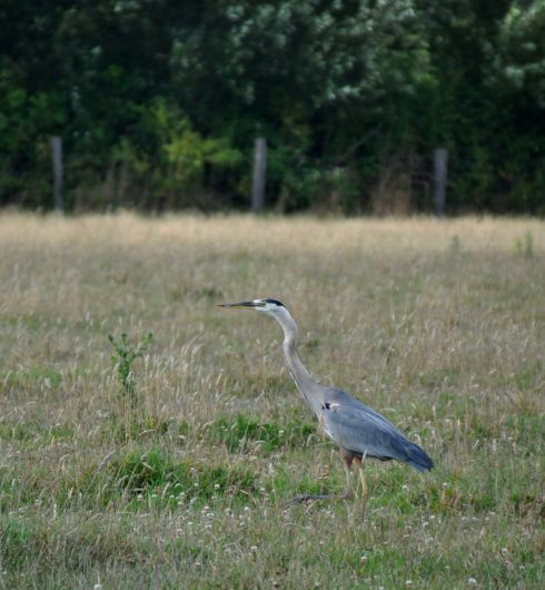 This heron is doing more aggressive hunting, as she stalks gracefully across the grass.