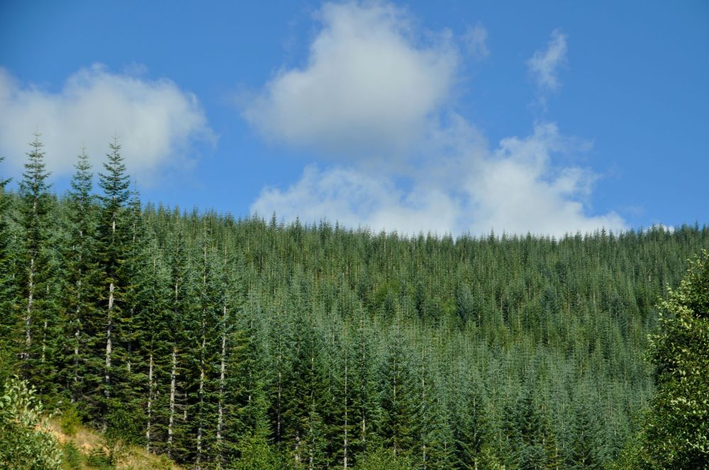 Hills of Noble Fir as seen from Highway 504 on the way to Johnston Ridge Observatory.