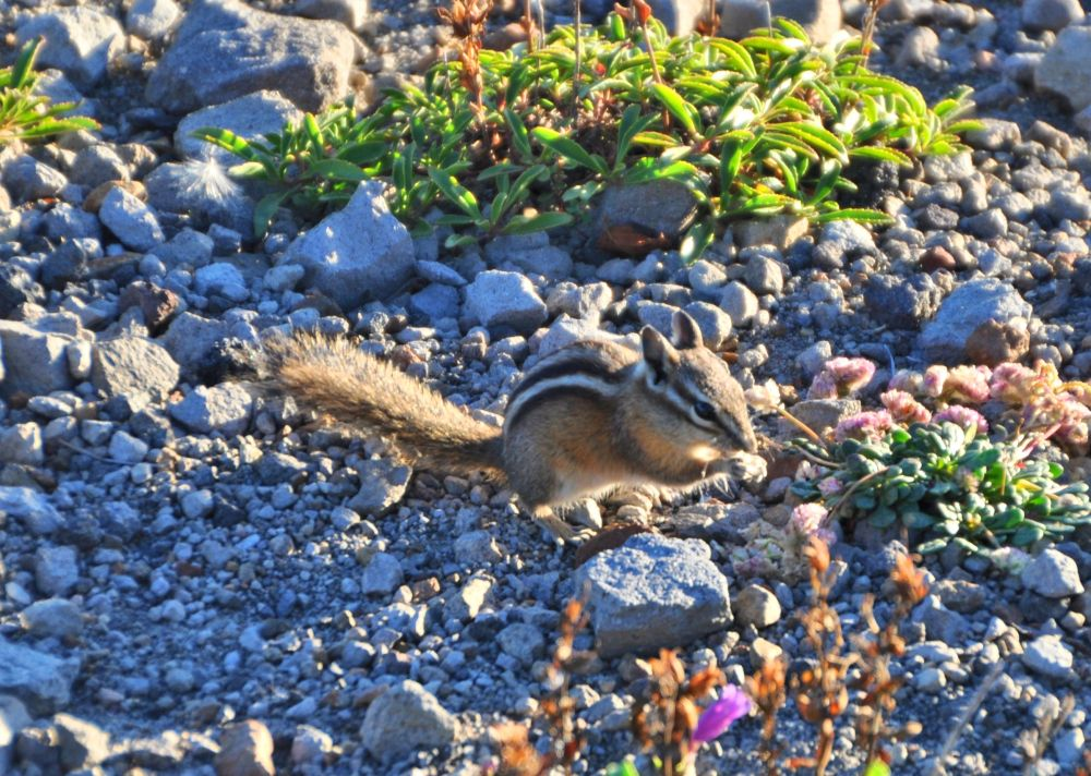 A chipmunk nibbles something tasty.