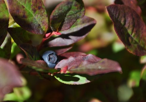 I am about the world's biggest huckleberry fan. Imagine my delight when I found bushes just loaded with ripe berries beside a trail.