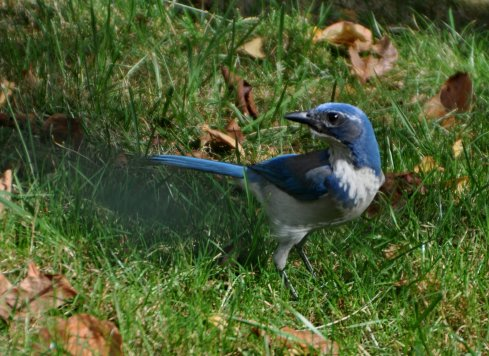 Western Scrub-Jay checking the area to see if it's being watched.