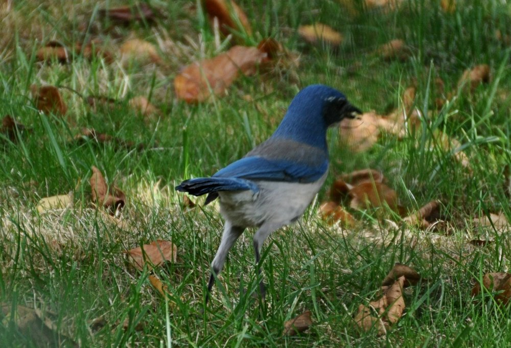Jay up on his tip-toes looking for a good spot to cache.