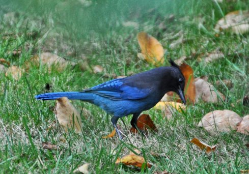 i saw my first Stellar's Jay in the yard today! I see these all over the forest, but now finally, in my yard too. Aren't they gorgeous?