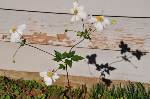 Flower casts a shadow against a wall.