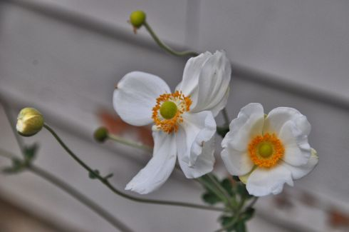 I just love this flower. The recklessly long and wavy stems, the mismatched petals, the fearless orange center.
