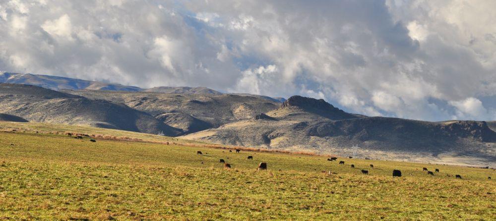 Cows graze in the weak afternoon sun of December in the Owyhee desert.