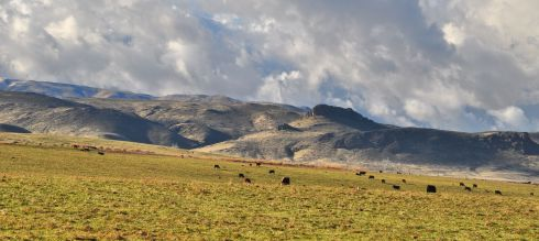 Cows graze in the weak afternoon sun of December in the Owyhee desert.