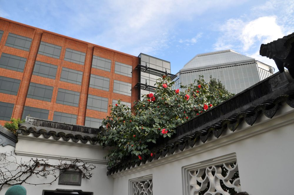 From the scholar's courtyard I could see camellias and tall buildings.